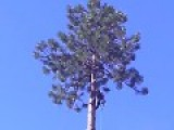 120' Bull Pine Crown Dropped