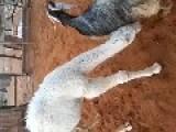 Goat Feeds A Camel