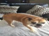 Bulldog Loves Her Birthday Surprise
