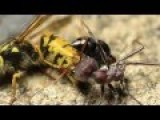 European Wasp Vs. Australia Bull Ant