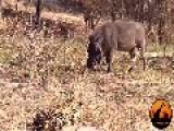 Biggest Leopard Hunt Fail Ever