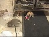 Cougar Kittens Playing With Raccoons