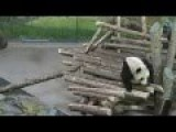 Watch This Giant Panda Get Startled By A Squirrel