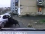 Urban Wild Boar Hunt In Russia. Full Video