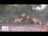 9 Lion Attack 1 Buffalo