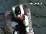 Ruffed Lemur Enjoys The Taste Of Apple