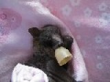 Orphaned Baby Flying Fox Being Nursed Back To Health