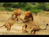 Lion Vs Lion Fight To Death DOCUMENTARY Compilation