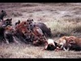 Lion Vs Hyenas , Fight For Buffalo Meat