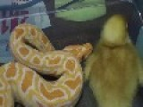 **Albino Burmese Python *VS* Duck -constricts-