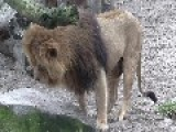 Video Of The Old Lion Danish Zoo Killed Along With His Family