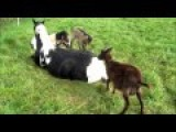 Lounging Horse Becomes Playground For Goats