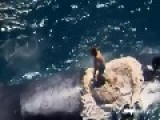 AMAZING Australian Idiot Surfs Dead Whale As Sharks Circle Harrison Williams