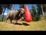 Angry Ram VS Punching Bag