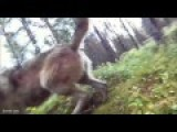 Alone Dog With Go Pro Strapped Viciously Attacked By Wolf Pack In The Woods