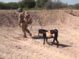 Afghanistan - Taliban Goat Shows British Soldier Some Love