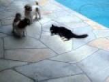 ANIMAL RACISM -- BLACK CAT TRIES TO DROWN WHITE DOG