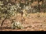 Australia, Yep Foxs To