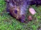 A Pig Filmed Dying