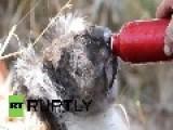 Australia: Watch Parched KOALA Gulp Water Amid Bushfires