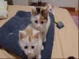 Adorable Kittens Perform Synchronized Head Dance