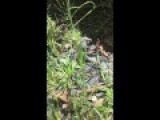 Angry Lizards Fight