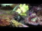 AnglerFish Eats Damsel