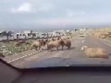 A Male Sheep Vs Car