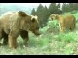 ANIMAL FACE-OFF: GIANT BEAR VS. COUGAR