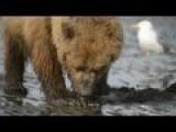 Alaskan Brown Bear Loves Eating Clams