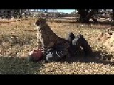 Africa Cheetah Cat Schools Man MMA Style - Full Mounting Pain