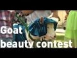 A Beauty Pageant - For Goats - ? -