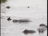 Amazing Video - Hippo Save Gnu From Crocodile