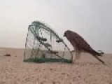 Arab Trap:how To Catch A Hawk