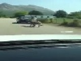 Another Donkey Dragging In Montenegro