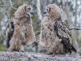 Adolescent Owls Holding Hands & Preparing For A Night Out