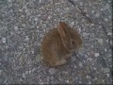 Animal Lover Rescues Daring Baby Bunny