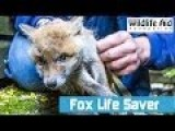 Adorable Fox Cub Stuck In A Chain Link Fence
