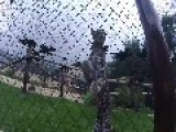 Assured Ocelot Stalks Camera