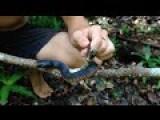Aborigine Porn And The Highly Venomous Redbelly Black Snake!