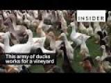 A Vineyard Employs 900 Ducks