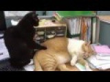 Awesome Cat Video : Love Massage