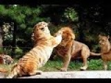 Amazing Fight - Lion Vs Tiger - Animal Battle Who Win ???