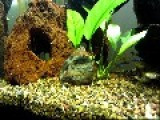 A Tai Crab Taking A Pea