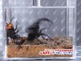 Asian Giant Hornet VS Saw Stag Beetle