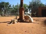 Adorable Lion Cubs Destroy Their Scratching Post In Record Time