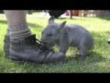 A Baby Wombat Running Towards A Man Running After His Feet