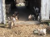 Adorable Goat Kids Come Out To Play