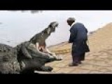African Eaten Killed By Giant Crocodile Real