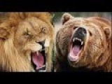 Amazing Fight | Lion Vs Bear - Lion Attack Bear....!!!